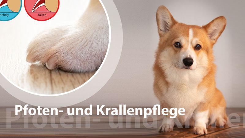 Pfoten- und Krallenpflege beim Hund – entspannt dremeln   Schritt für Schritt